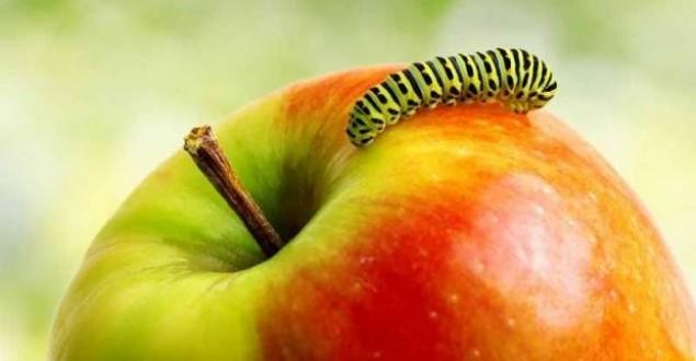 Kurtlu elmanın faydaları ?