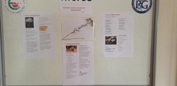 Atatürk Üniversitesinde Ayın Bitkisi: Achillea millefolium